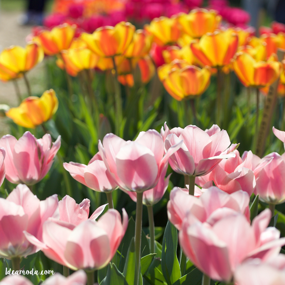 Lovely colorful tulips first time in italy u pick tulip for Tulipani italiani
